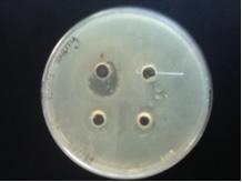 Cherry- E.coli3.jpg